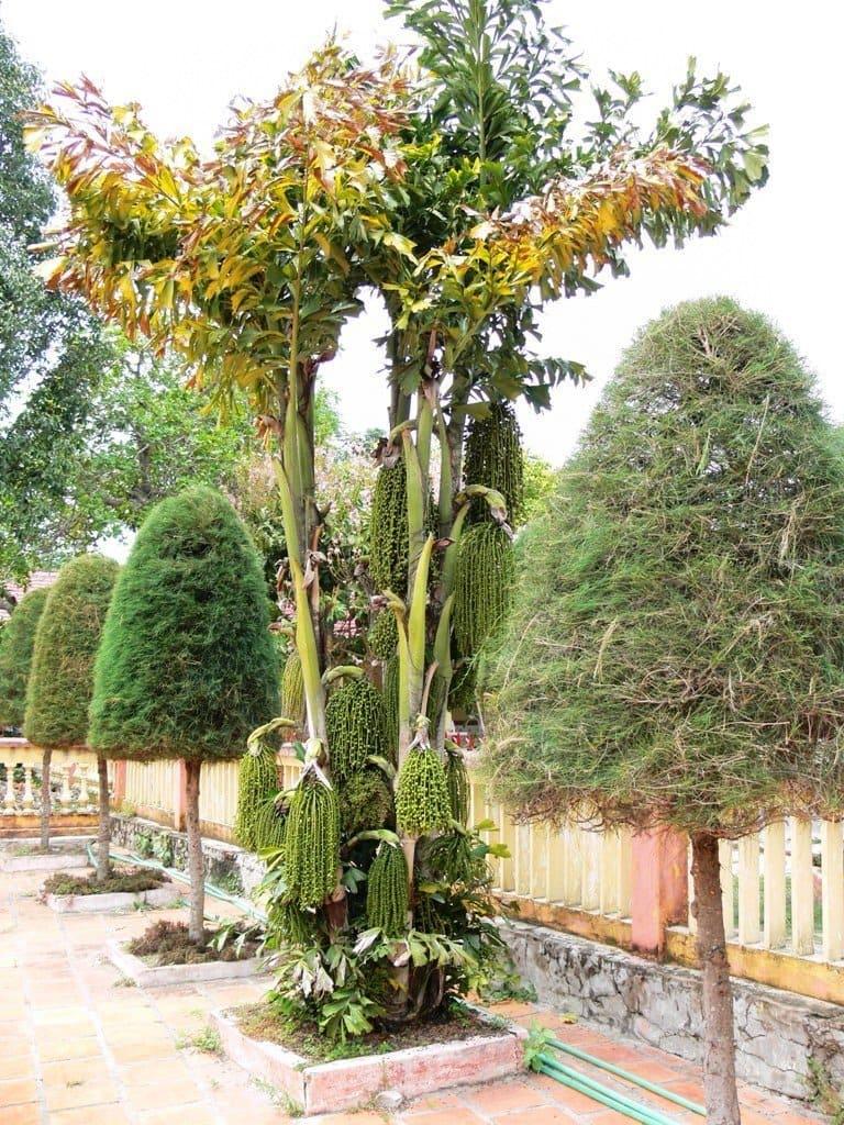 Trước đây, cây móc thường mọc hoang nhưng hiện nay nó được khá nhiều người trồng như một loại cây cảnh