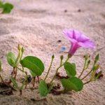 Loại rau muống được dùng để chữa bệnh trĩ thường là rau muống biển