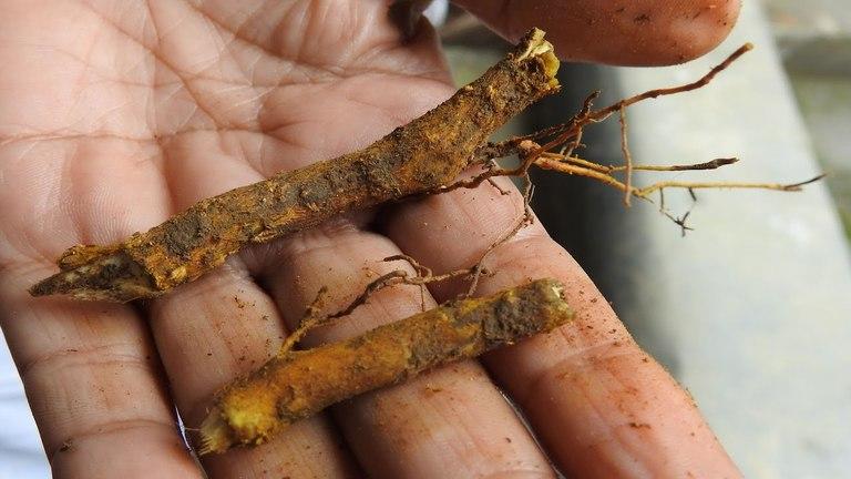 Rễ xuyên tiêu phơi khô sắc lấy nước uống chữa đau nhức xương khớp