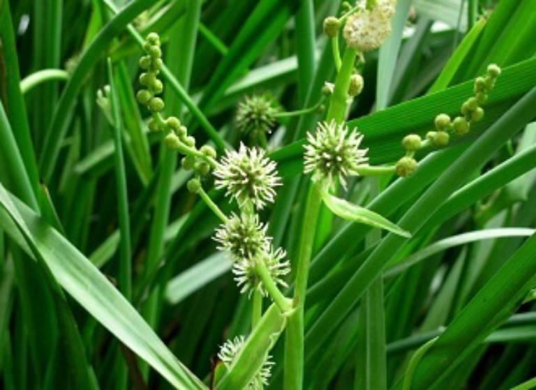 Tam lăng là cây thân thảo sống lâu năm được sử dụng để chữa các bệnh kinh bế, sản hậu ứ trệ, thông kinh nguyệt