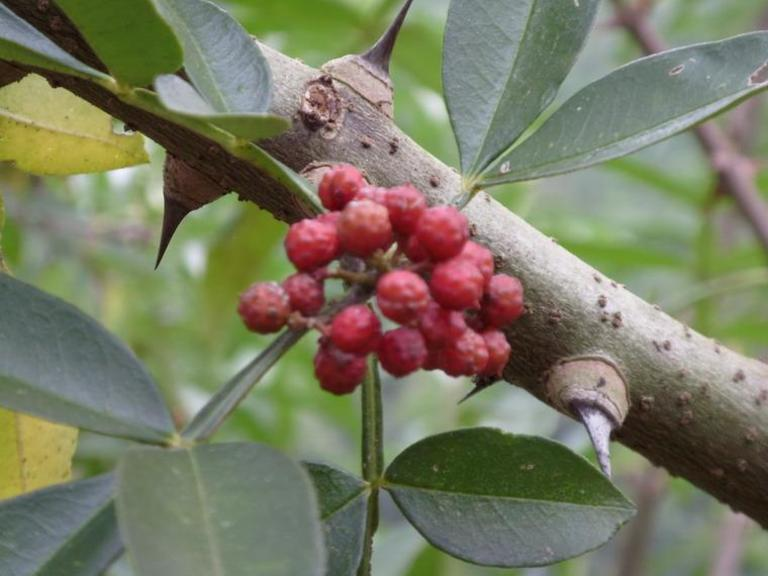 Thân và lá cây xuyên tiêu có nhiều gai