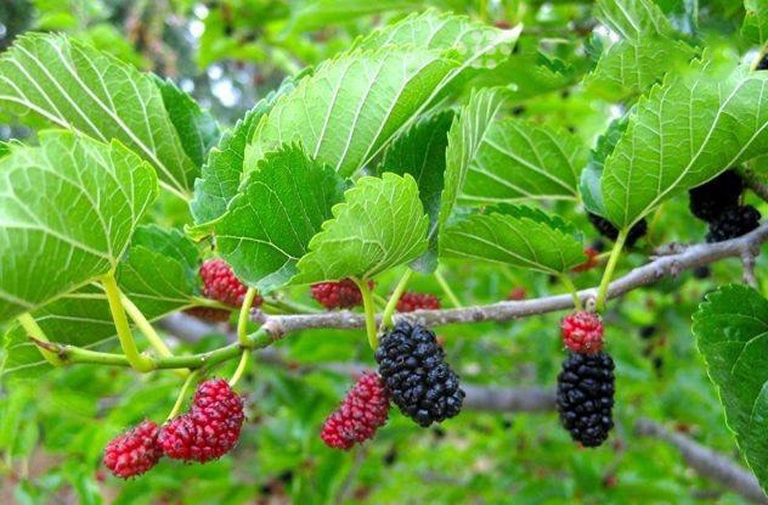 Phương pháp điều trị bệnh viêm da tiết bã bằng lá cây dâu tầm