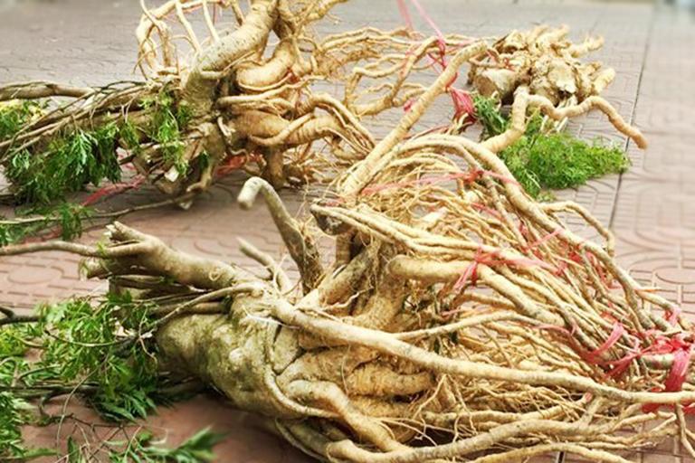các phương pháp điều trị thoái hóa khớp gối bằng rễ đinh lăng