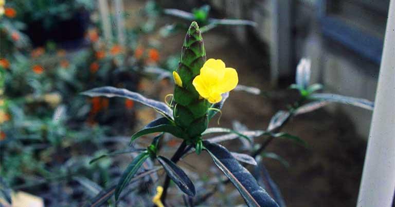 cây kim vàng trị bệnh gì