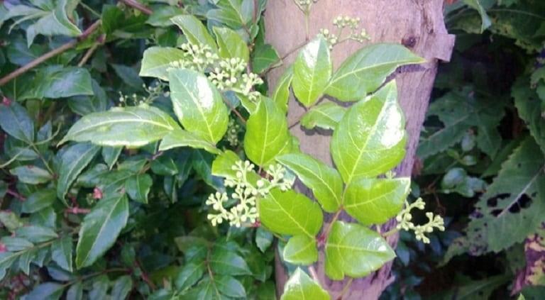 Hình ảnh cây và hoa chè dây