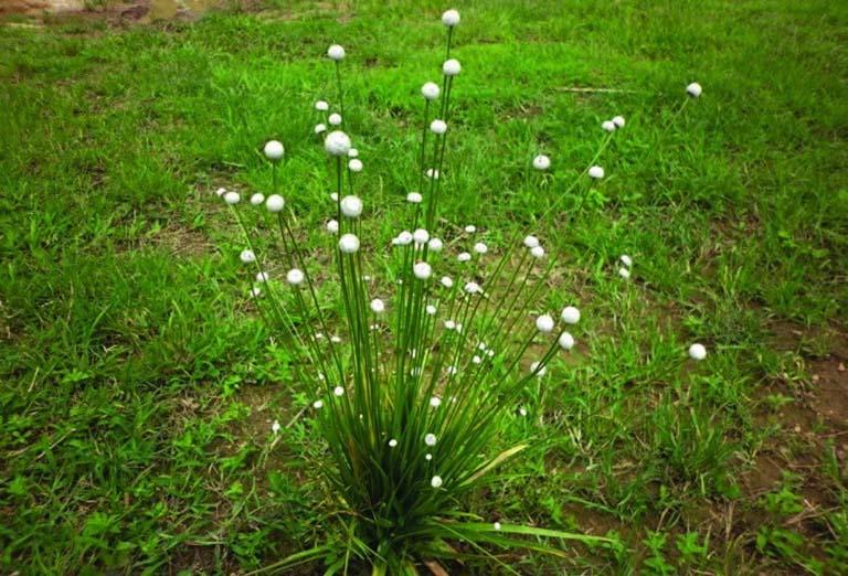 cỏ dùi trống