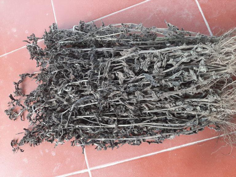Hình ảnh cây nhân trần
