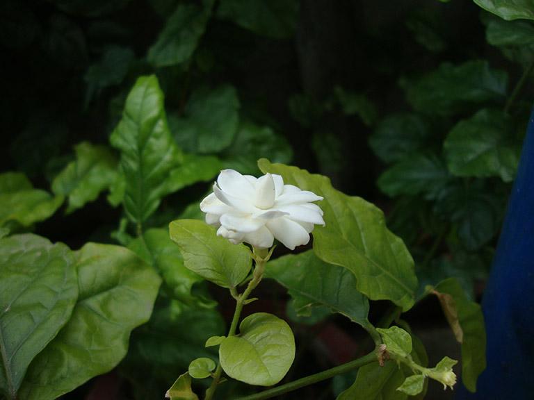 hoa nhài có tác dụng gì