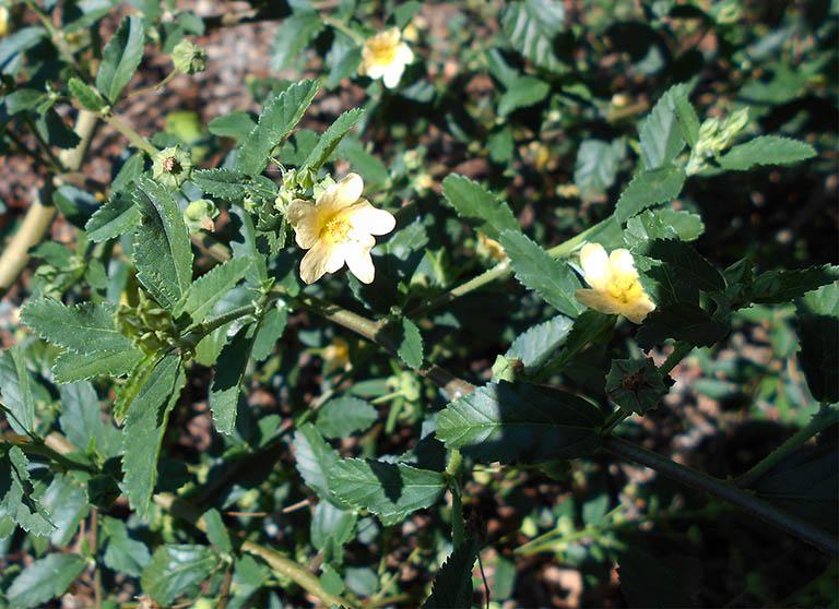 hình ảnh cây ké hoa vàng
