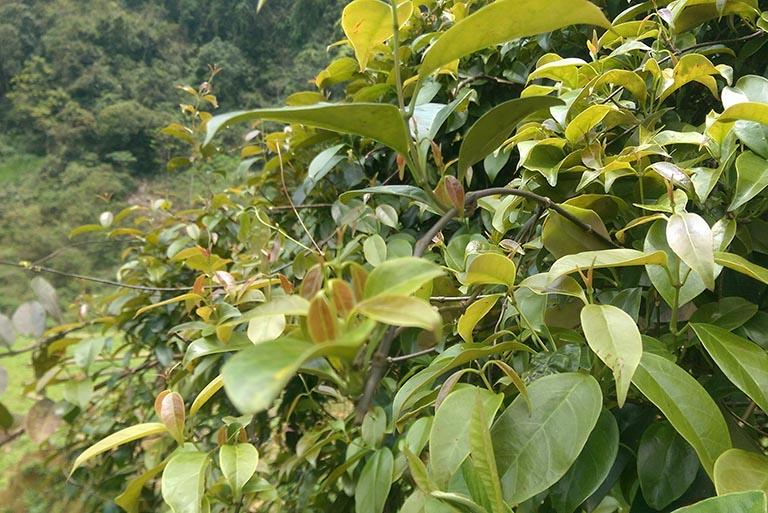 hình ảnh cây lá giang