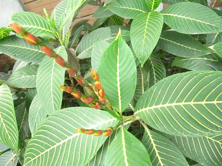 cây lá khôi chữa bệnh gì