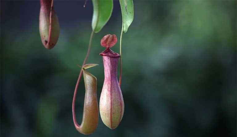 cây nắp ấm chữa bệnh gì