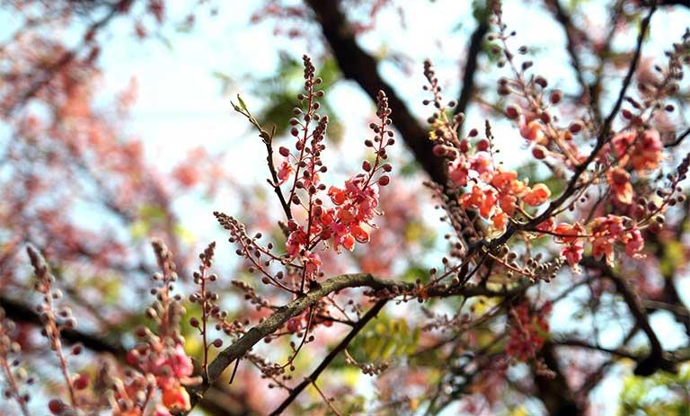 hình ảnh hoa ô môi