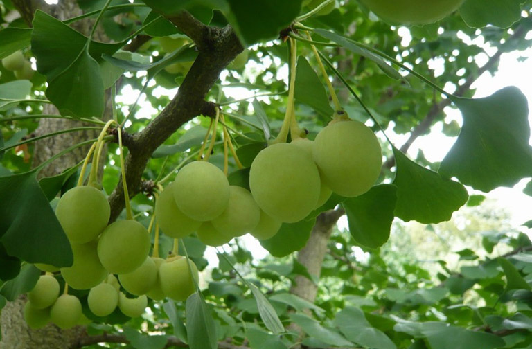 hình ảnh cây bạch quả