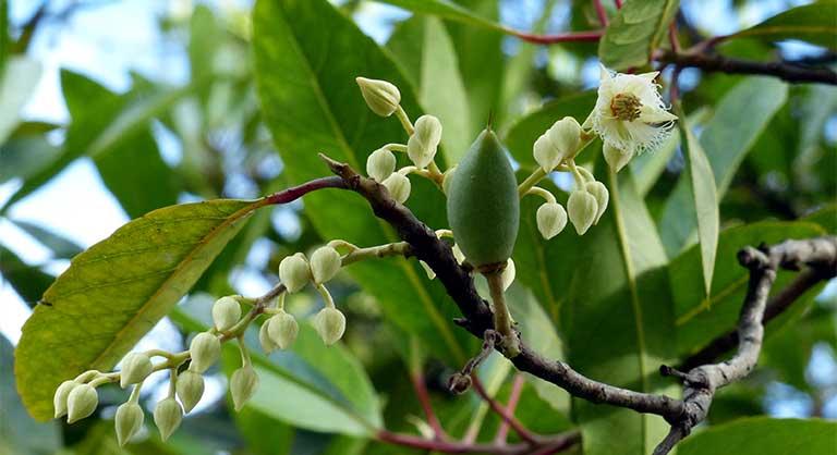 cây cà na
