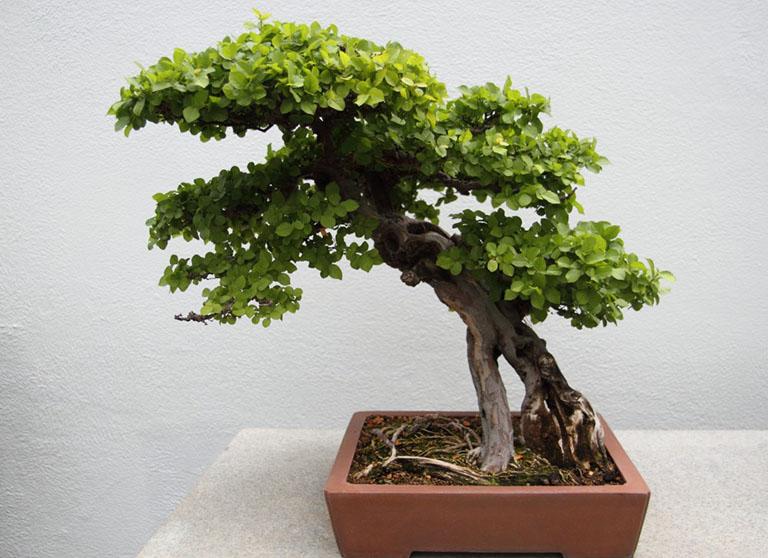 hình ảnh cây canh châu
