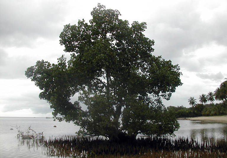 Hình ảnh cây bần