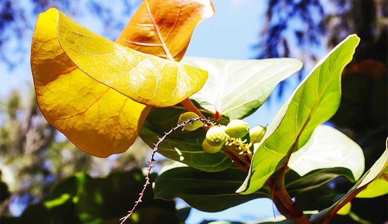 đặc điểm cây bàng