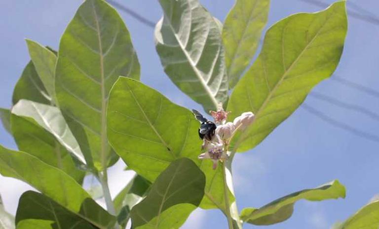 cây bồng bồng chữa bệnh gì