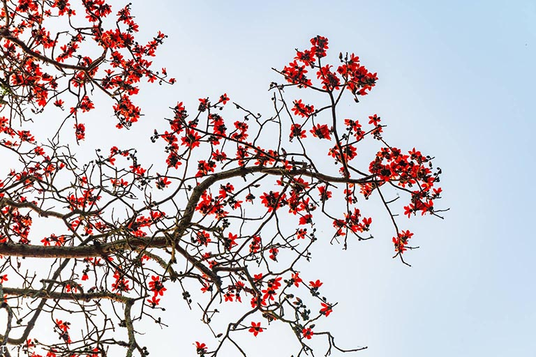 cây bông gòn