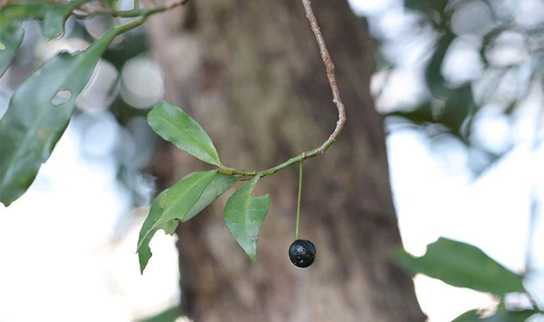 cây cơm nguội là cây gì
