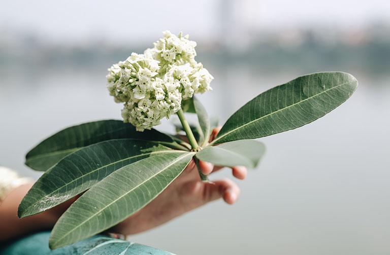 cây hoa sữa