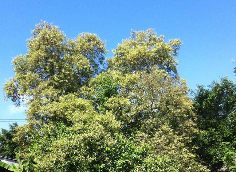 cây trâm bầu trị bệnh gì