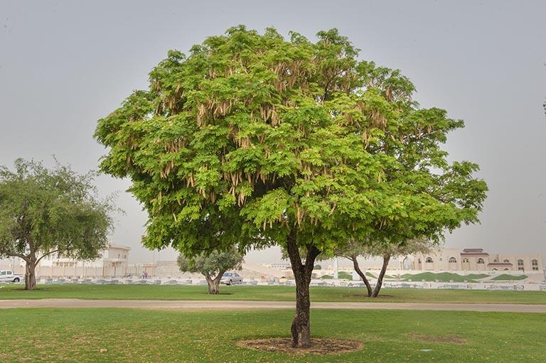 cây bồ kết