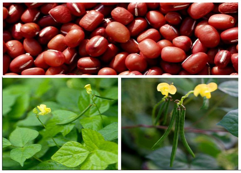 hình ảnh cây đậu đỏ