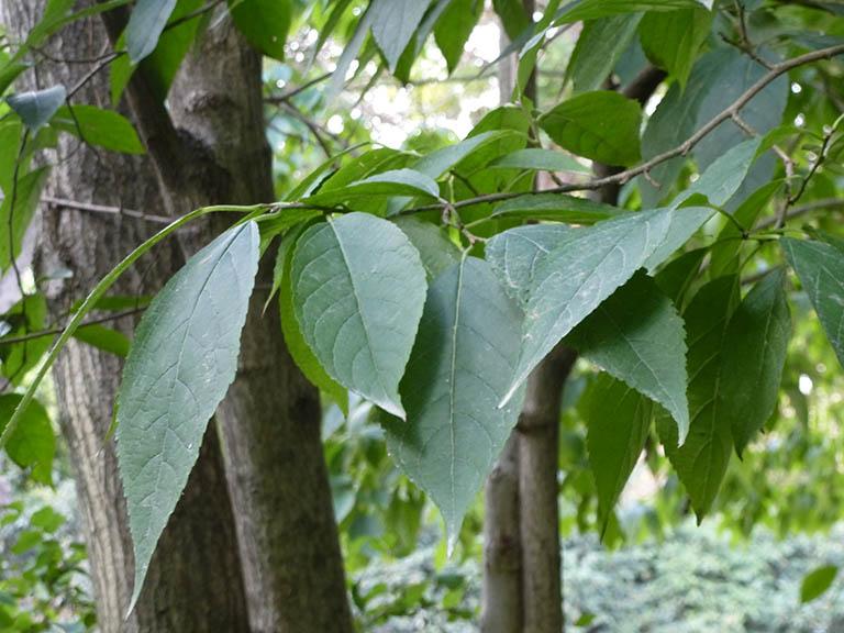 hình ảnh cây đỗ trọng