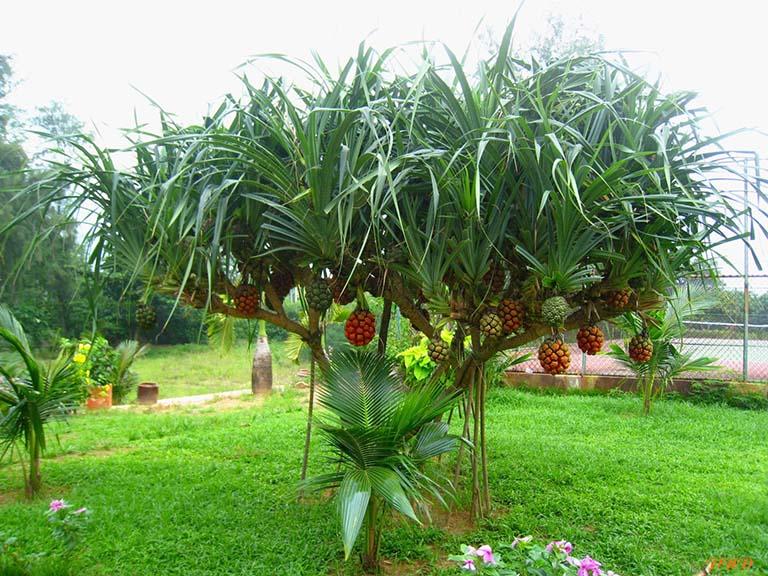 hình ảnh cây dứa dại