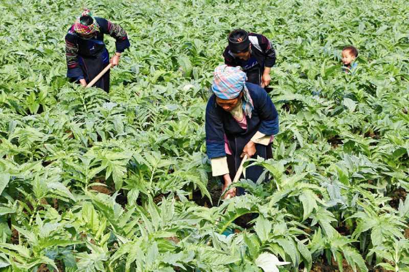 Vườn thảo dược tại Thuốc dân tộc
