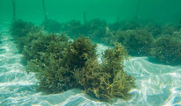 hải tảo có tác dụng gì