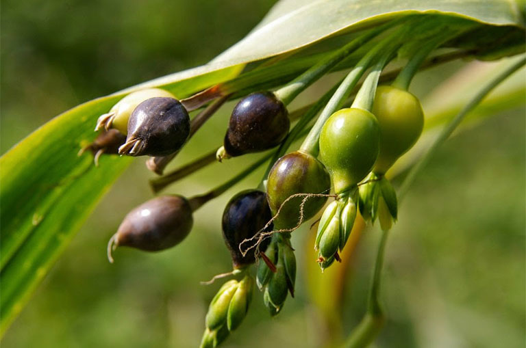 hạt giống bo bo