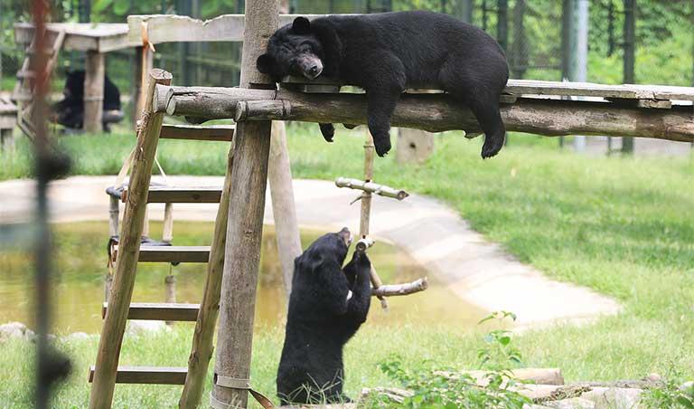 uống mật gấu có tác dụng gì
