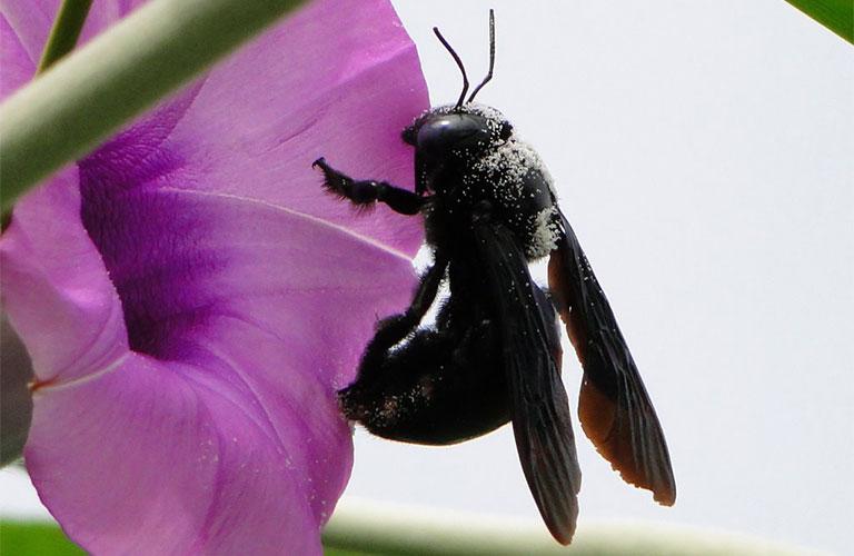 Dược liệu Ong đen
