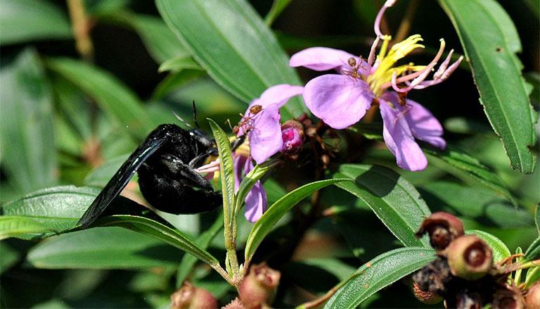 ong đen có tác dụng gì