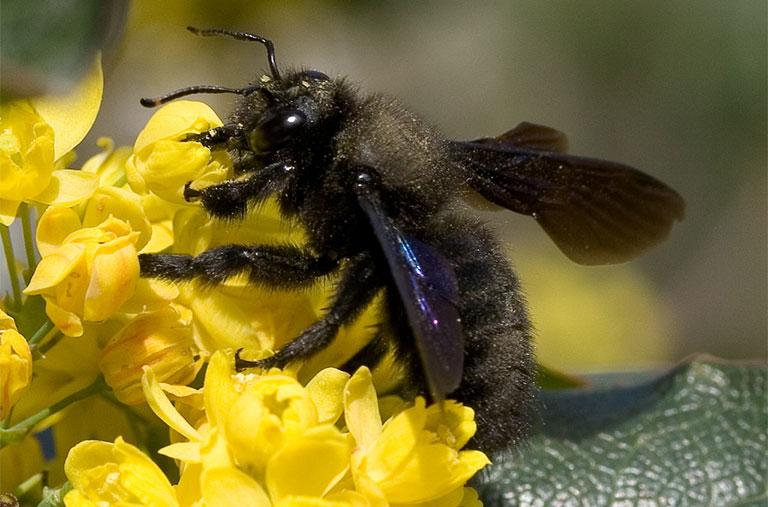 hình ảnh ong đen