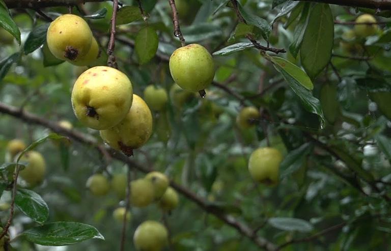 hình ảnh cây táo mèo