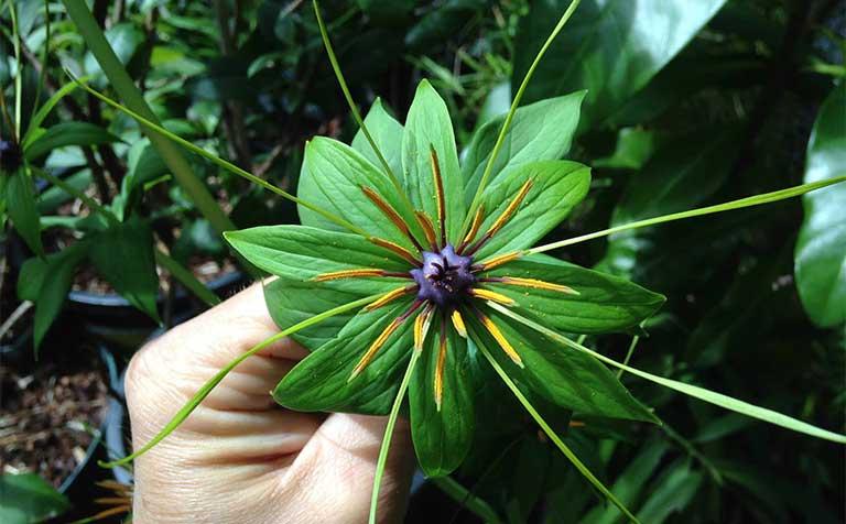 cây 7 lá 1 hoa công dụng