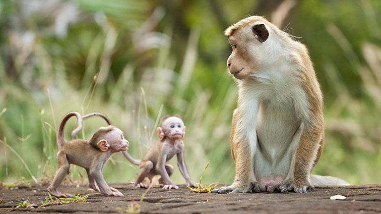 Cao khỉ chữa bệnh gì