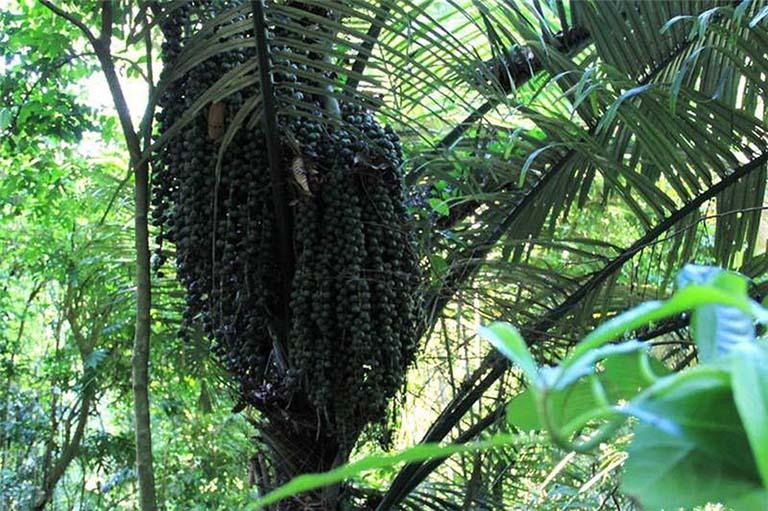 cây báng