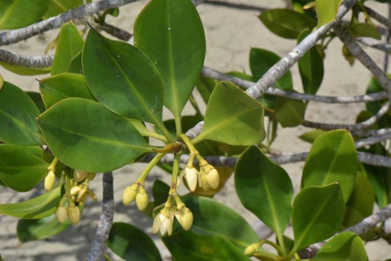 hình ảnh cây đước