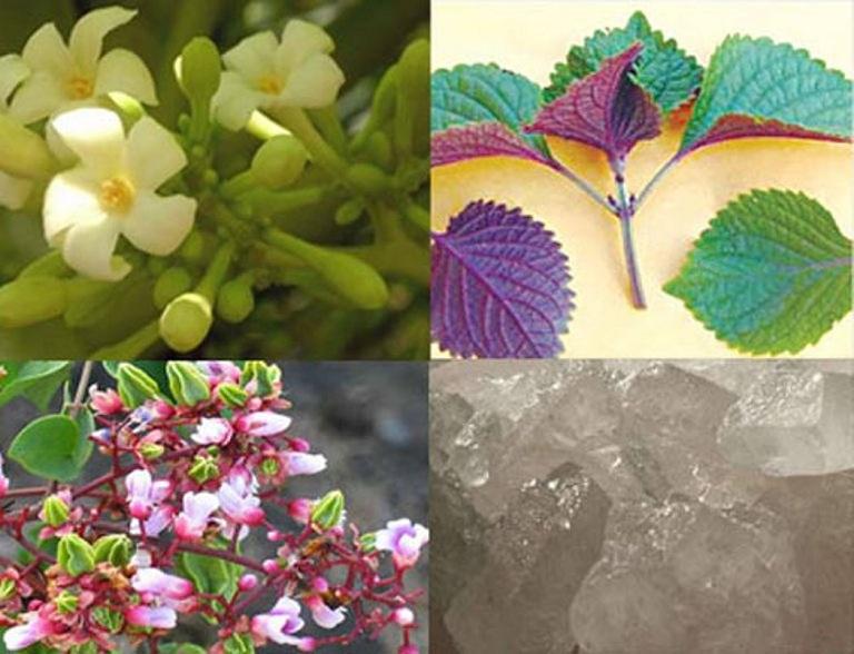 hoa khế, lá tía tô, hoa đu đủ đực trị ho