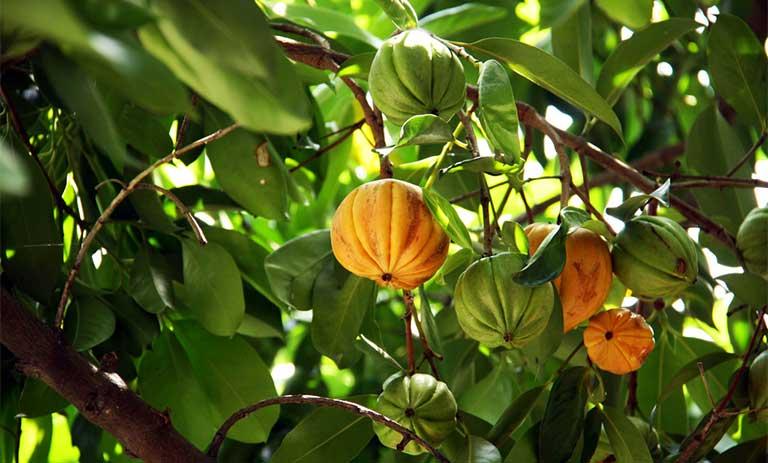 cây tai chua