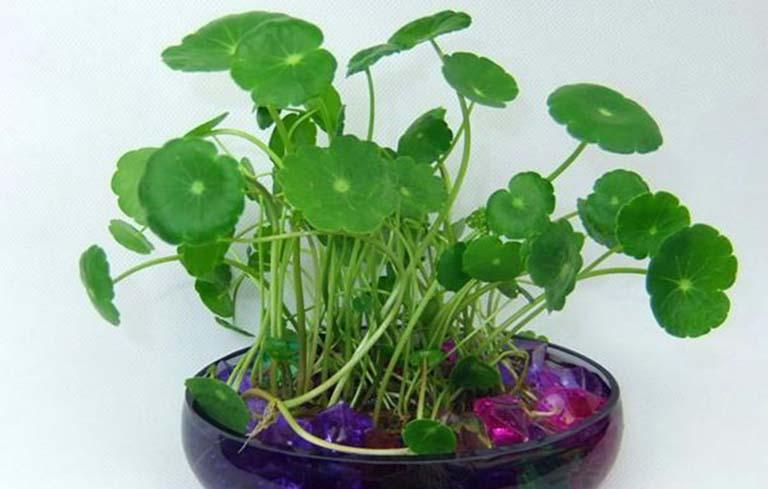 Cây cỏ đồng tiền tốt cho sức khỏe ngày tết
