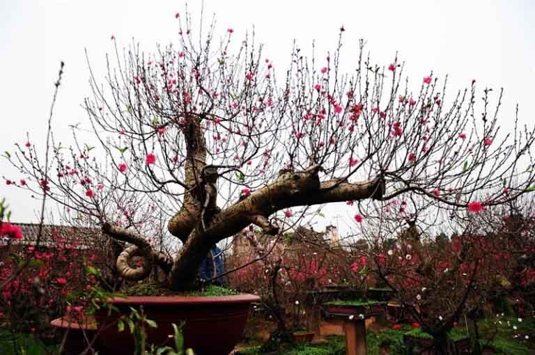 Hoa đào là cây cảnh tốt cho sức khỏe ngày tết