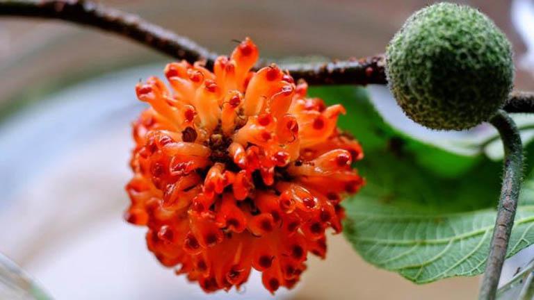 công dụng chữa bệnh của cây dướng