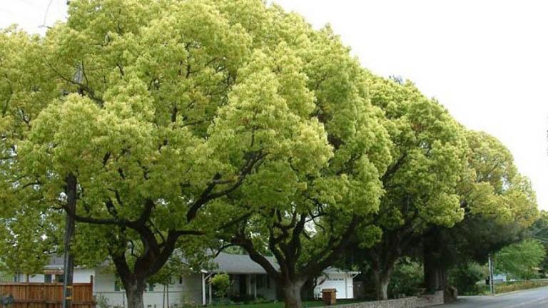 cây dã hương