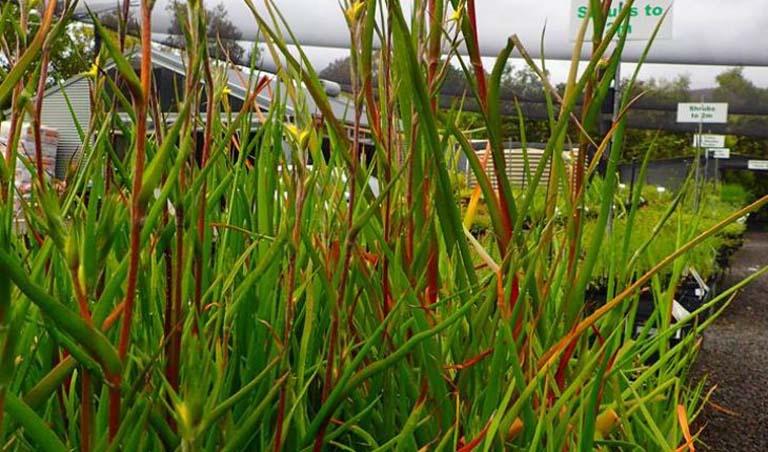 tác dụng của cỏ đuôi lươn